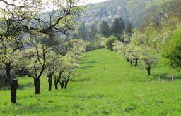 Steinhofgründe Blühende Apfelbäume Foto: STADTBEKANNT