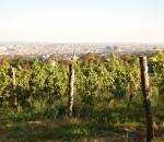 Wiener Weingärten