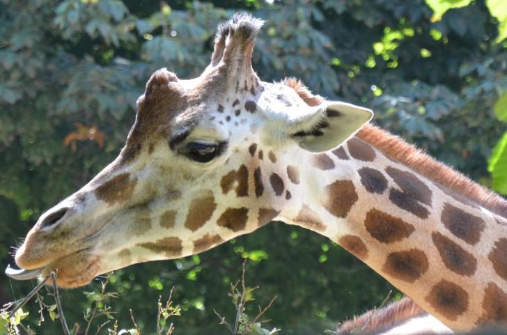 Tiergarten Schönbrunn Giraffe (c) Mautner stadtbekannt.at