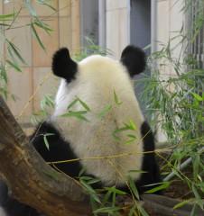 Tiergarten Schönbrunn Panda (c) Mautner stadtbekannt.at