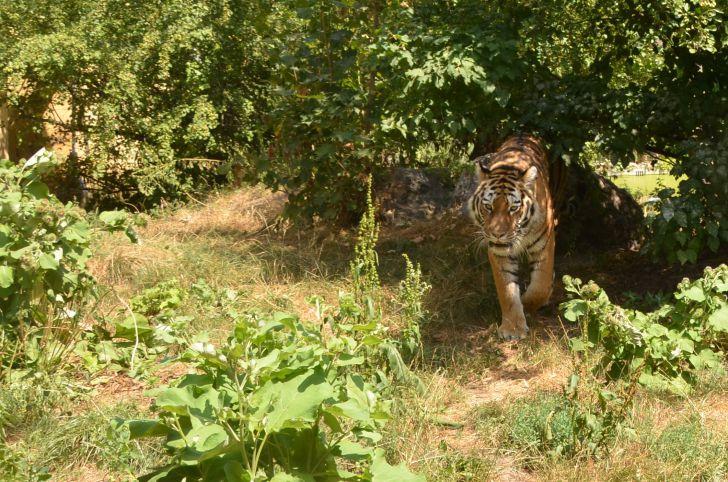 Tiergarten Schönbrunn Tiger (c) Mautner stadtbekannt.at