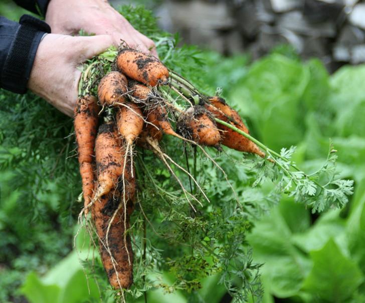 Selbstversorger Karotten (c) Neumann stadtbekannt