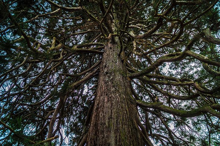 Poetzleinsdorfer Schlosspark Mammutbaum (c) STADTBEKANNT