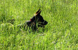 Wiese Schäferhund (c) STADTBEKANNT