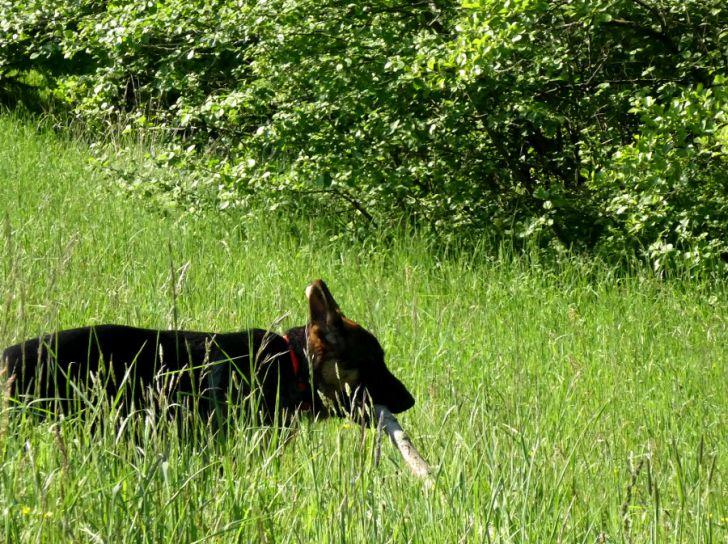 Schäferhund Wiese (c) STADTBEKANNT