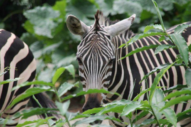 Zebra (c) STADTBEKANNT Hofinger